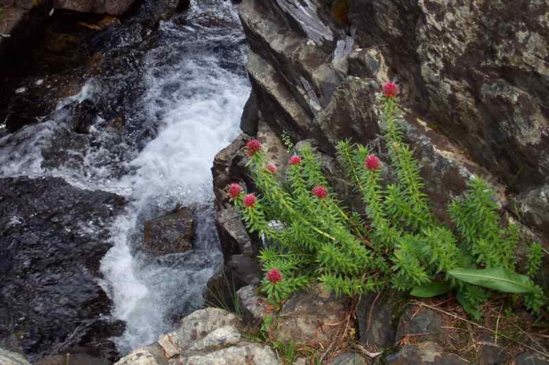 Alpine flowers by a mountain stream