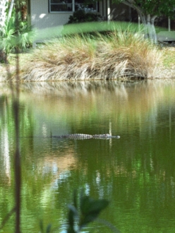 alligator swimming in a canal behind a house
