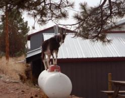 goat climbing on a propane tank