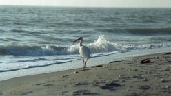 a white ibis strolls along the beach