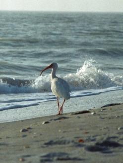 a white ibis strolls along the beach