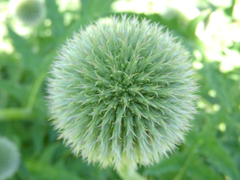 a developing flower