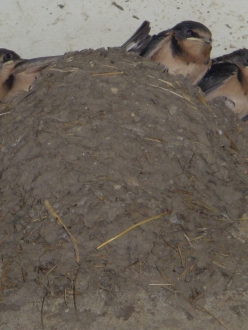 a nest full of barn swallows almost ready to leave
