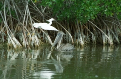 great egret and brown pelican