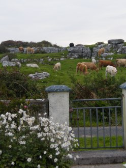 a country scene in Ireland with a garden gate, flowers, cows
