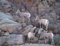 colorado bighorn sheep