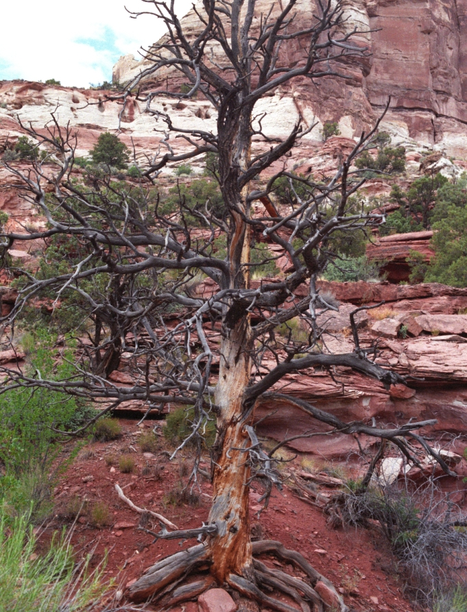 a twisted tree in Utah