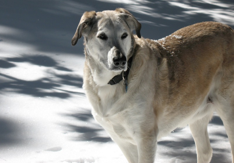 yellow and white dog in the snow