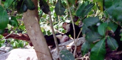 a capuchin monkey grooming another