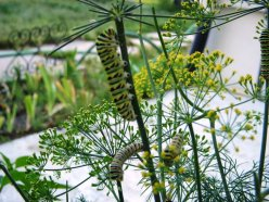 black swallowtail caterpillars eating dill
