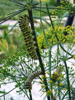 black swallowtail caterpillars eating dill