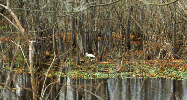 Egrets at Brazos Bend State Park, Texas, USA