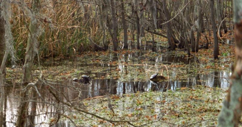 Turtles at Brazos Bend State Park, Texas, USA