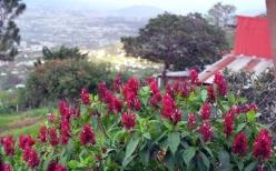 Flowers on the hillside in San Jose, Costa Rica
