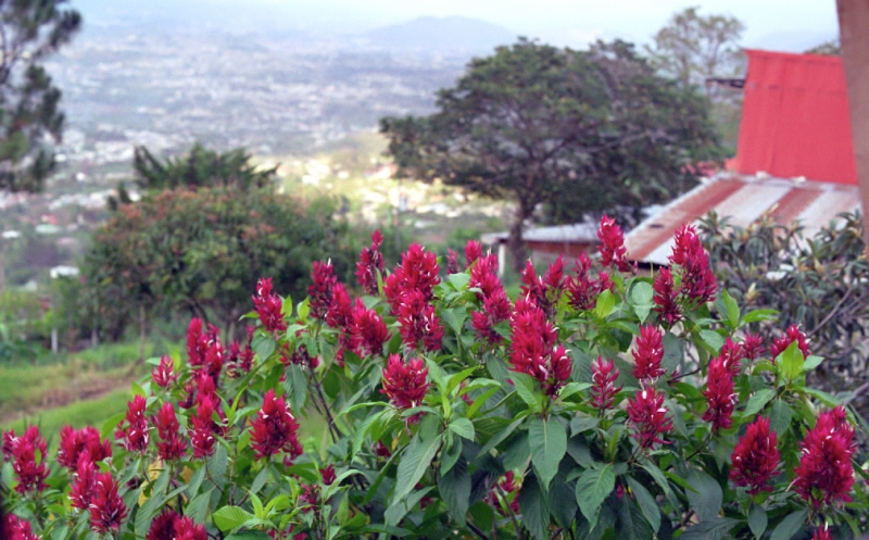 Flowers on the hillside overlooking San Jose, Costa Rica