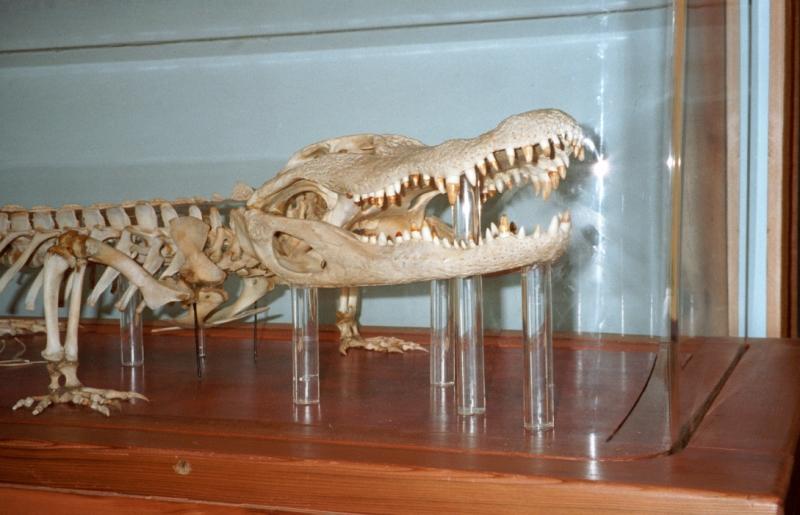 Alligator skeleton at Brazos Bend State Park, Texas, USA