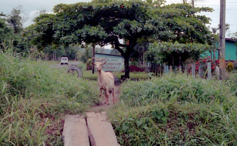 a goat in the Costa Rican countryside