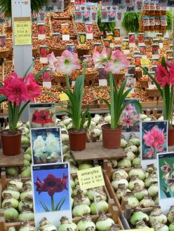 bulbs for sale in Amsterdam