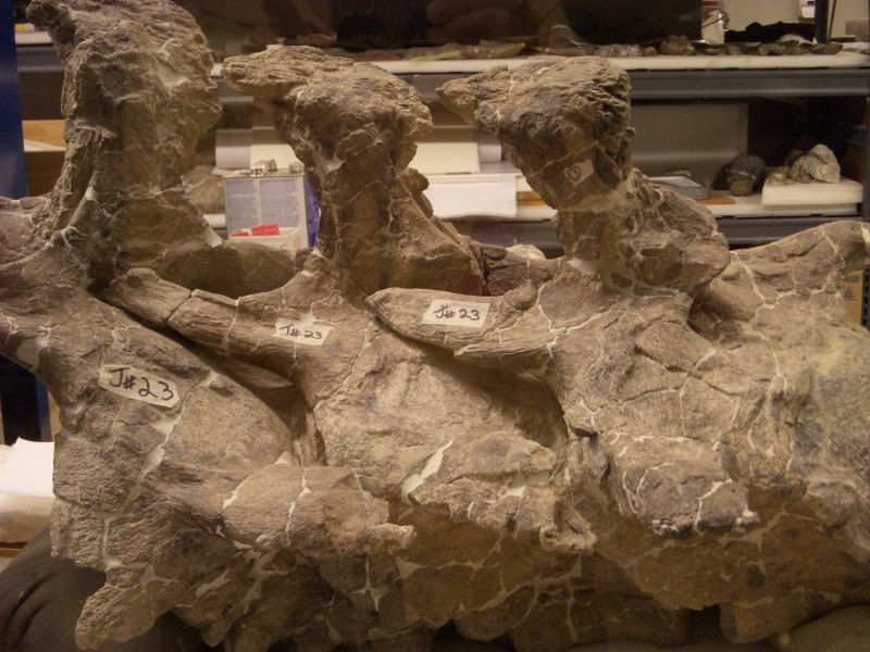A fossil in the Paleolab at the Carnegie Museum of Natural History