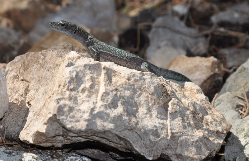 lizard on Mljet