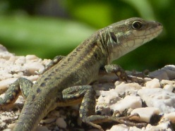 Close-up of an iridescent olive-colored lizard looking back at the camera over his right shoulder.