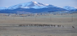 an elk herd stampedes to the small town of fairplay, Colorado