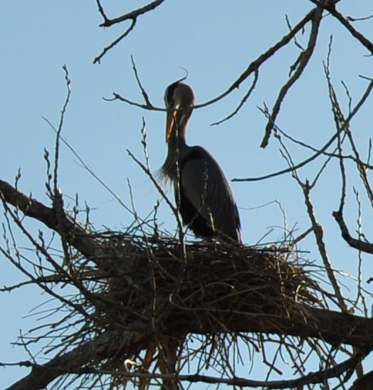 a great blue heron standing on his nest