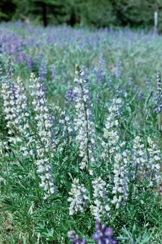 lupine meadow, Utah