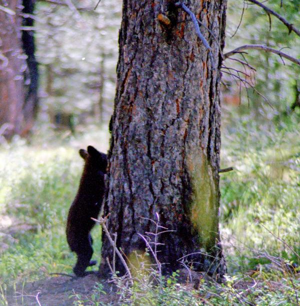 bear cub by a tree