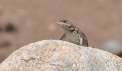 a sagebrush lizard in Colorado