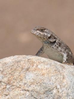 a sagebrush lizard in Colorado