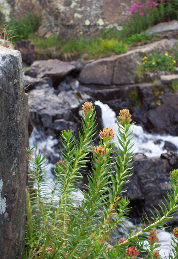 flowers by a mountain stream in Summit County, Colorado