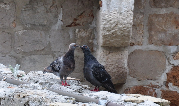 two pigeons kissing on a wall in Dubrovnik