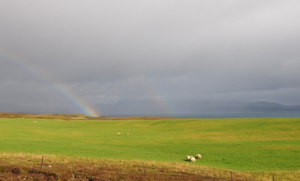 a green meadow in Iceland, near Pingvellir National Park, with sheep and a rainbow
