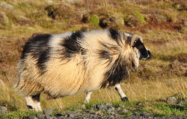 sheep near Thingvellir National Park, Iceland