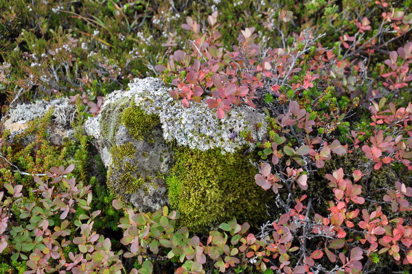 groundcover in Thingvellir National Park, Iceland