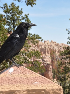 a crow with scenic Bryce Canyon, Utah in the background