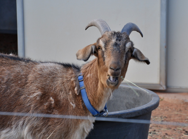 a goat who resides at Best Friends Animal Sanctuary in Kanab, Utah