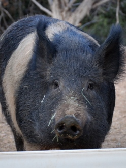 a pig who reside at Best Friends Animal Sanctuary in Kanab, Utah
